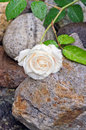 Cream white rose with water droplets lying on rocks Stock Image