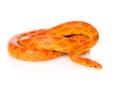 Creamsicle Corn Snake (Elaphe ...