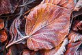 Creative layout of frosty leaves. Hoarfrost on autumn foliage. Autumn concept. Fall