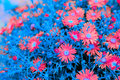 Creative New York Aster Flowers with Blue Leaves Royalty Free Stock Photo