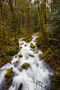 Creek flowing through forest of closely placed trees and a small Royalty Free Stock Image