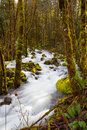 Creek flowing through forest of closely placed trees and a small Royalty Free Stock Photography