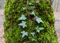 Creeper a green on a tree Royalty Free Stock Photo