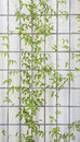 Creeper trellis background a small green leaved entwined around the wire mesh Stock Photos