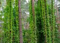 Creepers green on the trees Royalty Free Stock Image