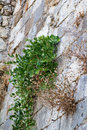 Creepers on the wall of the fortress photo taken in greece island crete Stock Photo