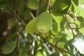Creeping Fig