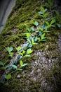 Creeping Ivy Vine Royalty Free Stock Photo