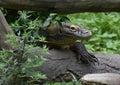 Creeping Komodo Monitor Climbing Under a Fallen Log Royalty Free Stock Photo