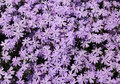 Creeping phlox flower background Royalty Free Stock Photo