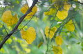 Creeping plant yellow old climber typical tropical jungle with green and yellow leaves under sunlight with green environment Royalty Free Stock Photos