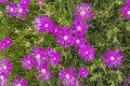 Creeping Shrubby Ice Plant Royalty Free Stock Photo