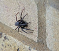 Creepy crawly garden spider photo of a large hairy on wall Stock Images