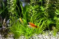 Cremecicle lyretail molly and red wag swordtail molles swimming in planted fish tank focus on a front couple of fish Royalty Free Stock Photography