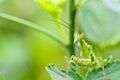 Creobroter gemmatus, Jeweled flower mantis Stock Photo