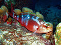 Creolefish in bonaire national marine park caribbean netherlands antilles a colorful is caught sleeping on a coral bommie during a Royalty Free Stock Photos
