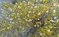 Creosote bush budding in the sonoran desert Royalty Free Stock Photos