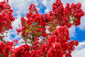 Crepe myrtle in bloom a tree the southern usa Stock Image