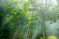 Crepuscular rays in a forest Stock Photography