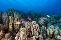Crescent-tail bigeyes and tropical reef in the Red Sea. Stock Photography