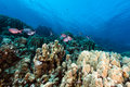 Crescent-tail bigeyes and tropical reef in the Red Sea. Stock Photos