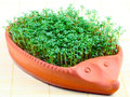 Cress hedgehog growing in the from clay Royalty Free Stock Images