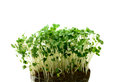 Cress macro studio of fresh green salad against a white background copy space Stock Image