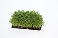 Cress seedlings Stock Photography