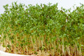 Cress seedlings isolated on white background Royalty Free Stock Photo