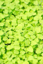 Cress varieties atsina on artificial substrate close up Stock Photos