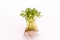 Cress on a white plate Royalty Free Stock Images