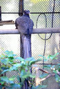 Crested argus rheinardia ocellata in vietnam Stock Photo