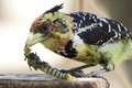Crested Barbet eating locust Royalty Free Stock Images