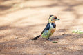 Crested barbet scavenging for food on the ground beautiful Stock Images