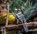 Crested barbet - trachyphonus vaillantii Royalty Free Stock Photo