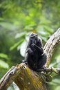 Crested Black Macaque Royalty Free Stock Photos