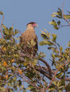 Crested caracara perching on tree a cheriway watches it s territory from a at cayo coco island in cuba Stock Photography