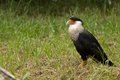Crested caracara standing on the ground Royalty Free Stock Photo