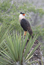 Crested caracara the is a unique looking bird with an appearance of a hawk mixed with a parrot Royalty Free Stock Photo