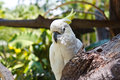Crested Cockatoo Stock Photography