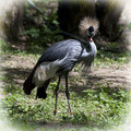 Crested crane balearica regulorum gibbericeps portrait Stock Photography
