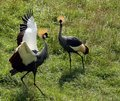 Crested Cranes Royalty Free Stock Photos