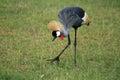 Crested / Crowned Crane, Uganda, Africa Royalty Free Stock Photography