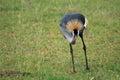 Crested / Crowned Crane, Uganda, Africa Stock Photography