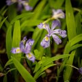 Crested Dwarf Iris Bloom with Rain Drops Royalty Free Stock Photo