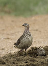 Crested francolin and chick foraging for food in a dung heap Stock Photo
