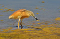 Crested heron with prey fishing in the marsh Royalty Free Stock Images