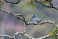Crested kingfisher megaceryle lugubris in japan Royalty Free Stock Photo