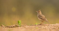 Crested lark a galerida cristata standing on the ground Stock Photos