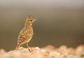 Crested lark a galerida cristata standing upright Stock Photos